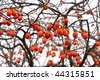 Japanese persimmon on a tree in winter (Kyoto) - stock photo