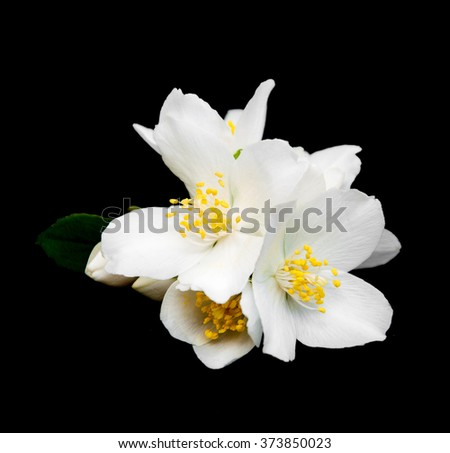 Jasmine flowers isolated on a black background