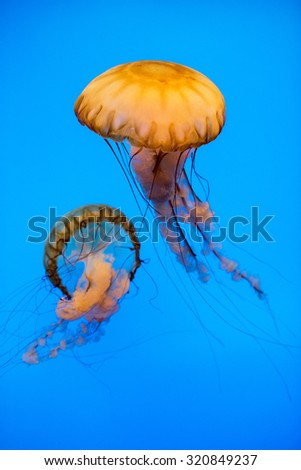 Jellyfish in the deep blue background