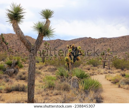 Joshua trees and desert hills form a fascinating landscape at Joshua Tree National Park in California.