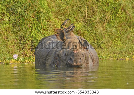 Jungle Mynas on an Indian Rhino in Chitwan National Park in Nepal
