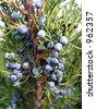 juniper shrub with berries - stock photo