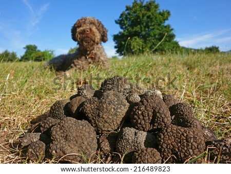 just picked black truffles, dog in the background