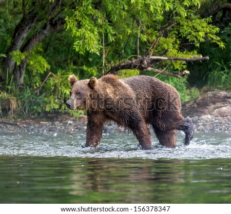 Kamchatka brown bear near the lake Dvukhyurtochnoe - Kamchatka, Russia