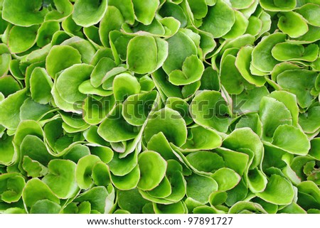 keep growing green leaves of lettuce ready to harvest and season