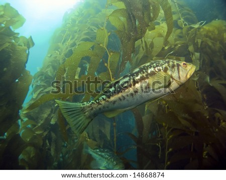 Kelp Bass swimming in the Kelp on Catalina Island