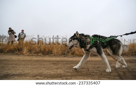 Kharkov, UKRAINE - November 15, 2014: Dmitriy Khrustalev during Happy Dog 250 m heats at Sled dogs dry land race Autumn Cup �¢?? 2014