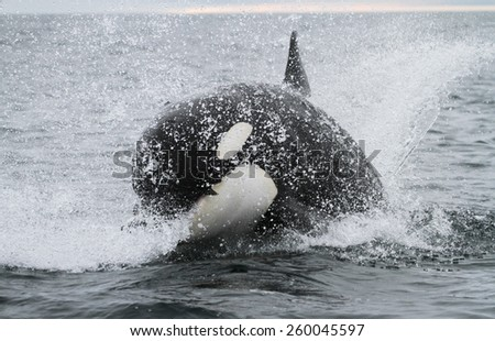 Killer whale hunting salmon