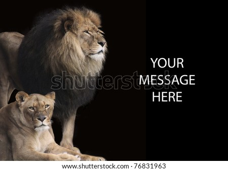 King of the Jungle is an apt description for this fine lion with his equally impressive lioness by his side. They make a powerful background or stationary when you want to send a strong message.