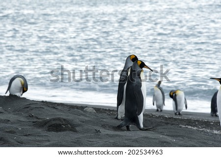 King penguins standing on dark sand, Antarctica, South Georgia
