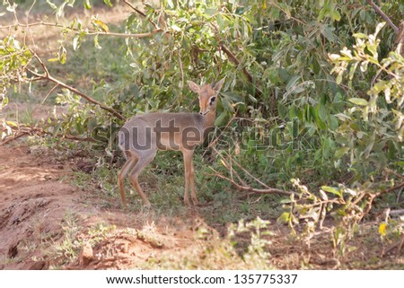 Kirk Dik-dik (Madoqua kirkii) antelope in shade of bush. Lake Manyara National Park, Tanzania, Africa.