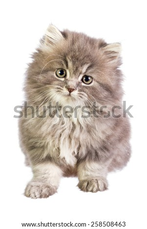 Kitten isolated on white background
