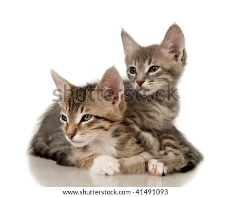 Four Main Coon Kittens Row Isolated Stock Photo 71296369 ...