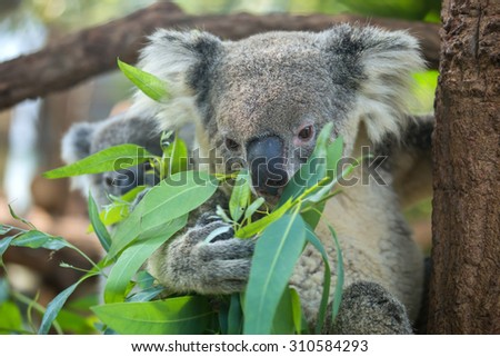 koala baby and mom perched on a tree to eat.