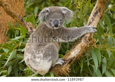 Koala joey posing for the camera