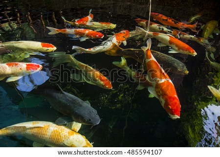 Koi fish on sunny day stock photo 553393993 shutterstock for Koi pool santa