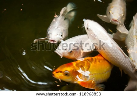 Goldfish large small aquarium decorative stones stock for Small koi fish
