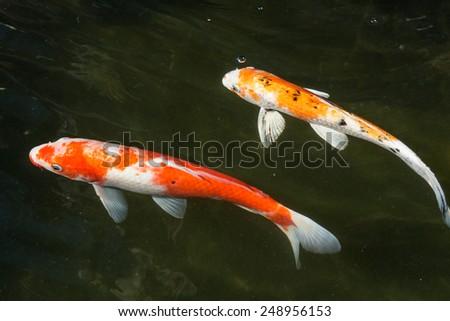 Abstract swimming koi carp fishes japanese stock photo for Koi fish swimming