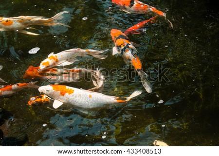 Koi fish pond stock photo 477262744 shutterstock Koi fish swimming pool