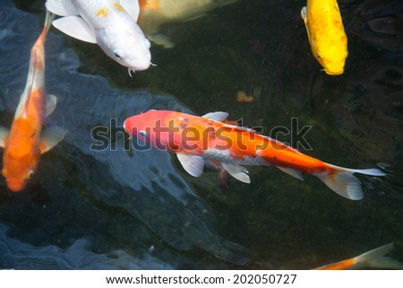 Koi fish stock photo 96515503 shutterstock for Pool koi aquatics ltd