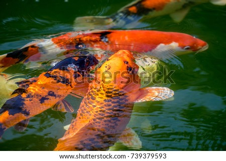 Koi fish swimming pond carp stock photo 600062417 for Kin matsuba koi