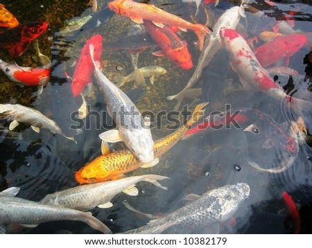 Koi swimming in a water garden