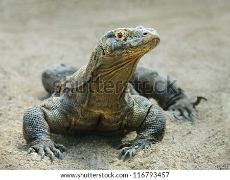 Komodo Dragon, the largest lizard in the world on a sand background looks at camera curiously