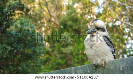 Kookaburra in the Springbrook National Park, Queensland in Australia