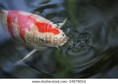Koy pond stock photos images pictures shutterstock for The koy pond