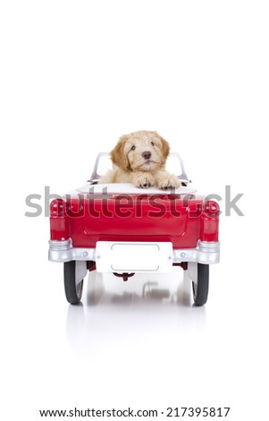 Labradoodle puppy in a red car with white background