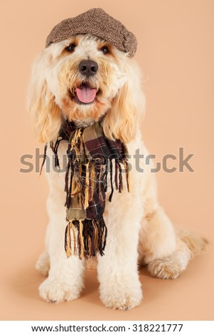 Labradoodle with hat and shawl
