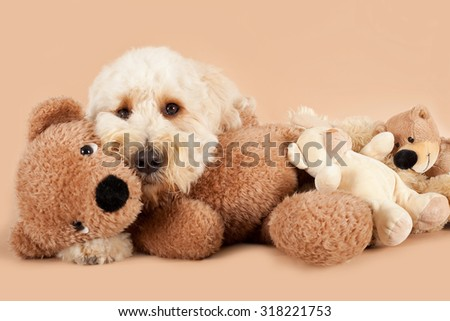 Labradoodle with teddy bear