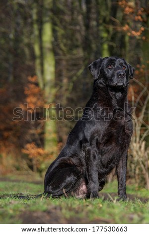Black Russian Terrier Playing Autumn Stock Photo 267663401 ...