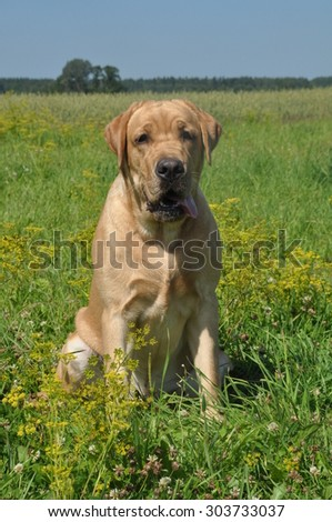 Labrador dog on the grass in the field