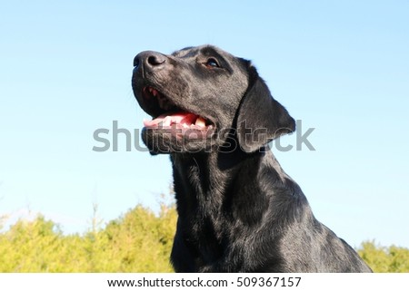 Labrador Retriever, a real man's best friend!