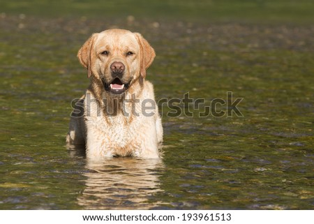 Labrador Retriever Dog