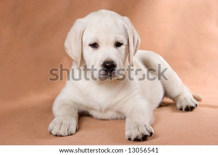 Labrador Retriever puppy on background