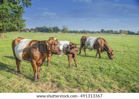 Lakenvelder belted cows in Dutch meadow