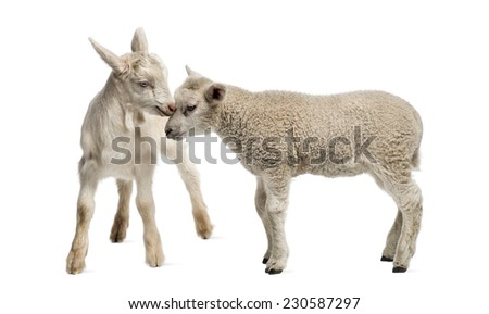 Lamb and goat kid (8 weeks old) isolated on white