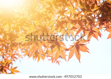 Landscape in autumn season with sun light. A tree branch and flower with autumn leaves of a maple on a blurred background. - Vintage light.