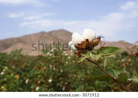 Landscape of a cotton field in a field in southamerica. Focus on the front bloom.