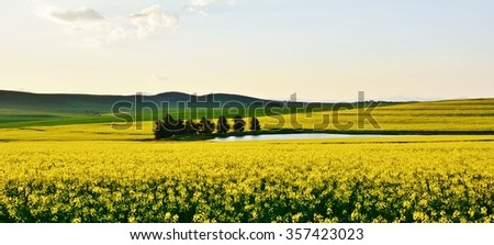 Landscape with yellow canola fields