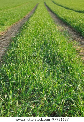 lane green wheat grass crossed by wheel tracks of a tractor