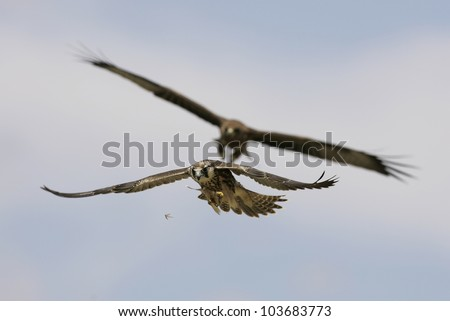 Lanner falcon catching termites in flight
