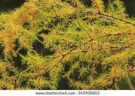Larch in autumn close up
