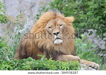 Large African lion resting on the stones lying at the zoo in Warsaw