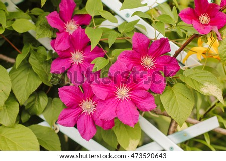 large and bright clematis flowers on a background of green leaves