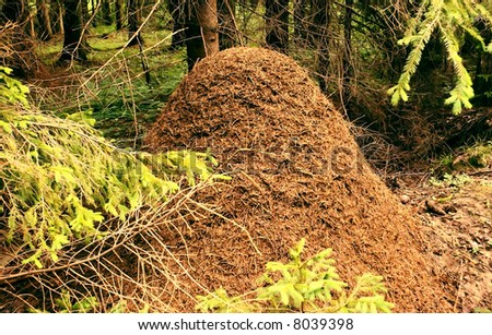 Large ant-hill in the spruce forest, charming beauty and harmony of wild nature.