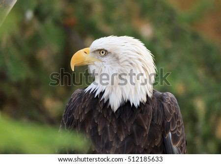 Large Bald Eagle with vivid eyes perched on a tree.