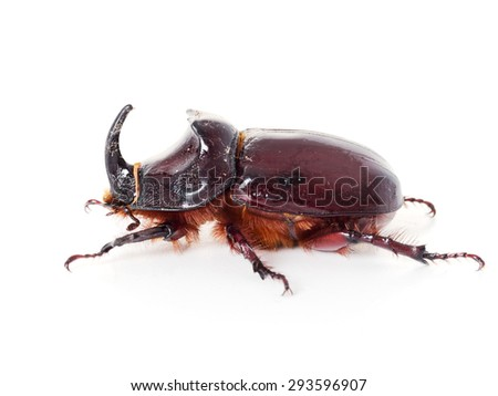 Large beetle. European rhinoceros beetle. On white.